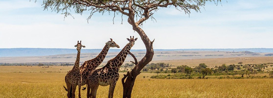 Faszination Afrika – Giraffen in der Savanne